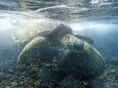playing in the surf (Ben McLeod) Tags: greenturtle hawaii maui lavarock ocean seaturtle snorkeling underwater