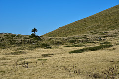 A lonely pine on a windy hill (Tomislav Bicanic) Tags: pine lonely windy hill velebit