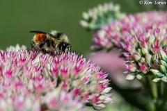 Sedum For September Bees - Quinte West, Ontario (Kim Toews Photography) Tags: flower pollinator pink plant pollen nectar sedum ontario outdoor macro insect bee tricolouredbumblebee dof depthoffield autumnjoy