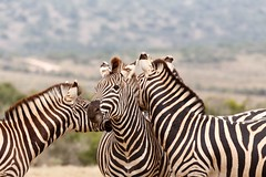 Two Zebras kissing behind the other Zebra (charissadescande) Tags: africa natural safari herd william mammal south look animal plains named wild herbivore way african black burchells quagga white lines eating stripes green subspecies after closeup pattern zebra time travel background national standing nature burchell grass john explorer wildlife southern striped outdoors british camera grassland park sky naturalist wilderness field