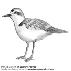 Snowy Plover with Pencils (drawingtutorials101.com) Tags: snowy plover birds waders shorebirds shore charadrius nivosus plovers antarctic sketching pencil sketch sketches drawing draw speeddrawing timelapse timelapsevideo how