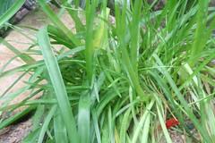 42-144-zweite%2520Serie%2520064 (hemingwayfoto) Tags: amaryllis blã¼te blã¼tenblatt blã¼tenstaub blã¼tenstempel blume blumen blumenhandel blumenzucht bunt flora gã¤rtner macroaufnahme natur pflanze rot topfblume topfpflanze zucht zwiebelblume zwiebelpflanze