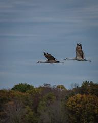 After Dinner Flight (rosepuddle) Tags: sandhillcranes cranes wisconsin cranesinflight fallcolors fallscenery