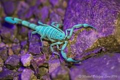 IMG_2623 copia (Manuel Balczar Lara) Tags: buthidae scorpion scorpiones centruroides mexico chamela jalisco