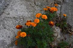 Flors i pluja (esta_ahi) Tags: baixcamp flor flora flores cultivadas tagetes clavelldemoro asteraceae compositae lafebr tarragona spain espaa