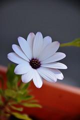 (nardjes zehana) Tags: extrieur profondeurde champs nikon d7100 blanc printemps spring