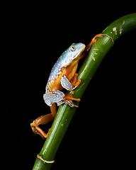 Fringed leaf frog