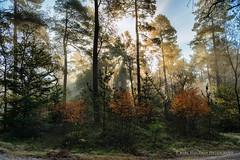 Fall forest (Marc Haegeman Photography) Tags: fall forest light hogeveluwe gelderland nederland netherlands wood bos loofbos trees bomen nature landscape nikond800 nikon marchaegemanphotography outdoor tree plant mist sunrise sunrays natuur