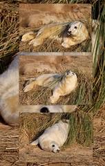 Grey Seal Pup (robin denton) Tags: greyseal pup feeding milking seals seal animal nature lwt lincolnshirewildlifetrust wildlifetrust wildlife donna donnanook halichoerusgrypus naturereserve coast collage picasa
