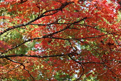 (eyawlk60) Tags: momiji maple leaves leaf eos canon