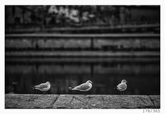three stooges (Alja Ani Tuna) Tags: 178 178365 365 seagull river three stooges birds waiting hanging animal urban city wien vienna riverbank wienriver photo365 project365 portrait portraitunlimited 35mm 365challenge 365project onephotoaday onceaday d800 dailyphoto day dof white bw blackandwhite black blackwhite beautiful monocrome monochrome nikond800 nikkor nikkor85mm nice naturallight nature 85mmf18 f18 travel sterreich capital