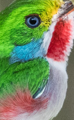 Cuban Tody (Laura Erickson) Tags: cuba cubantody birds todidae species places coraciiformes barrancolicubano barrancorrio cartacuba todusmulticolor