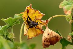 Orthoptera (Pablo Leautaud.) Tags: sanluistlaxialtemalco xochimilco mexico ciudaddemexico df cdmx naturaleza pleautaud orthoptera insecto insecta insect