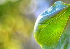 Macro Monday - Mysterious Orbs (zendt66) Tags: zendt66 zendt nikon d7200 macromonday macromondays macro mondays nikkor 60mm bokeh leaf redbud orb