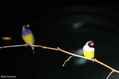 234A5019.jpg (Mark Dumont) Tags: gouldian animals birds cincinnati dumont finch mark zoo