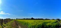 Zingem Herfst - Geel veld (2) (Johnny Cooman) Tags: zingem vlaanderen bel natuur bloemen bloesem landschap panorama belgium  landscape flemishregion flandre flandes flanders flandern blgica belgi belgique belgien belgia pano vlaamseardennen flhregion eastflanders flora aaa oostvlaanderen tree boom baum arbre herfst autumn panasonicdmcfz200 bos cloudscapes wolk wolken wolkformatie wolkformaties nuages