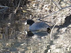 American Coot - Arizona by SpeedyJR (SpeedyJR) Tags: 2016janicerodriguez sweetwaterwetlands tucsonaz americancoot coots birds wildlife nature tucsonarizona arizona speedyjr