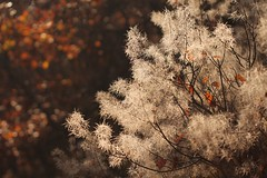 Smoke tree. La neve finta. (SimonaPolp) Tags: tree wood forest fall foliage bokeh nature day light sun sunlight