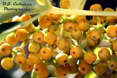 16Variegated Arboricola Seeds_9047n (OJCPhotoInc) Tags: ojcallahanphotography macro macrophotography macroflowers canonef100mmf28lismacro canoneos7d seeds redseeds yellowseeds plantseeds