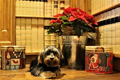 Flo Yorkie Poo Guarding the Christmas Poinsettia  and the Christmas Panettone (@oakhamuk) Tags: flo yorkiepoo guarding christmas poinsettia christmaspanettone cakes dog puppy
