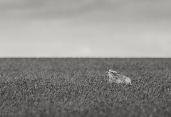 Came across this shot of a Brown Hare in a spring arable field, and I thought I'd see how it might look as a black and white image... (reynardfox) Tags: britishwildlife hare hares wildlifephotographers europeanwildlife suffolkwildlifetrust wildlifephotography wildlife wildlifetrusts floraandfauna arable farmlandwildlife