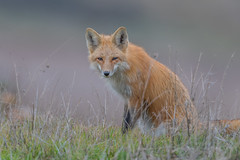 Red Fox (X6A_8540-1) (Eric SF) Tags: redfox fox wildlife coyotehillsregionalpark fremont california ebparksok ebparks