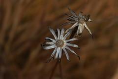 automne (bulbocode909) Tags: fleurs nature automne