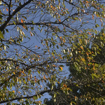 Autumn Leaves thumbnail
