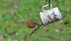 Anyone for a Cuppa? (nick.linda) Tags: robin erithacusrubecula birdfeeder cup cuppa stick wildandfree hardwickpark sedgefield canon7dmkii canon100400