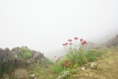 The Always Loving Flower, Damavand ($ALEH) Tags: secv misty poppy poppies damavand mountain iran climbing