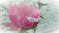 Dance on the edges (babs van beieren) Tags: pink soft softfocus raindrops drops dew dewdrops brugge bruges