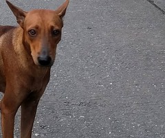 Soi dog - Bangkok (ashabot) Tags: dog streetscenes seasia lifeonthestreet homeless animal animals bangkok sad saddays