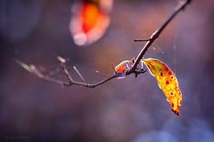 (Alin B.) Tags: alinbrotea nature autumn fall toamna leaf rusty october november