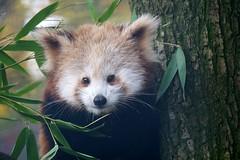 Red panda at Bristol Zoo (Kyle Dowling) Tags: red panda redpanda bristol zoo bristolzoo