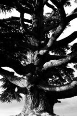 cedro della langa (hydRometra) Tags: natura langa cedro tree piemonte nature langhe bw bn piedmont 35mm lamorra cedar albero