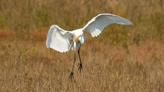 7K8A3947 (rpealit) Tags: scenery wildlife nature chincoteaque national refuge great egrets bird egret