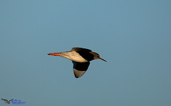 Redshank. (spw6156 - Over 5,239,001 Views) Tags: redshank fast little blighters iso copyright steve waterhouse