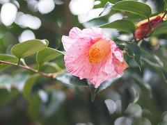 """椿 """" 吾妻絞 """" (Polotaro) Tags: mzuikodigital45mmf18 flower nature olympus epm2 pen 花 自然 オリンパス ペン camellia ツバキ 11月"""