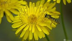 mosca cernicalo (I. Alberdi Ezpeleta) Tags: insecto intsektu insecte insect insekt insetto macro makro closeup macrofotografia macrophotography macrophotographie