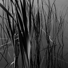 Water is another Matter (vertblu) Tags: pond pondscene pondlife pondsurface mono bw cattails equisetum schachtelhalm bythepond stalks stems water watersurface 500x500 bsquare vertblu horsetails horsetailsinapond bullrush bulrush bullrushes rohrkolben bulrushes reedmace punk reflection reflections graphical lightshadow abstractfeel kwadrat simplenature