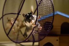 Fun On The Playground (Mushi Kid) Tags: gerbils pets animals fun playing wheel action nikon d750 lowlight cute