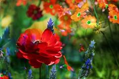 IMG_7275 Paradise's garden (Rodolfo Frino) Tags: flor flores flower flowers flora red blue orange dream dreams dof depthoffield bright garden