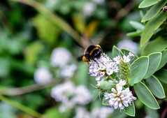 Bumblebee in action (scooby-doo710) Tags: bumblebee nature green white animal chester grosvenor park rainyday rain