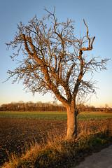 Kahler Baum im Winterlicht (G_Albrecht) Tags: season baum gehoelz jahreszeit landschaft laubbaum pflanze umwelt winter