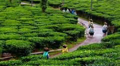 Photography (447) (Mr Kay Photography) Tags: india green photographer kerala wayanad teaplantation munnar malayali teaestate mrkay coffeeestate coffeeplantations mrkayphotography