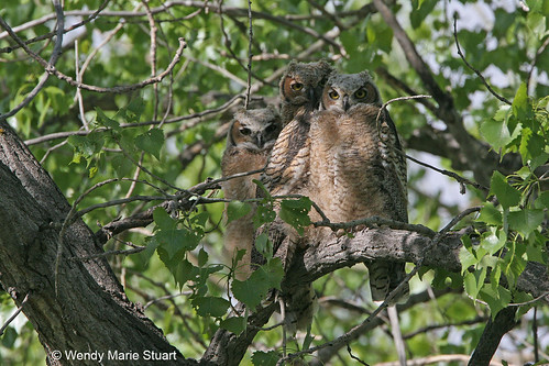 Photo - Three baby great horned owls at Sawhill Ponds.