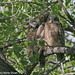 Three baby great horned owls at Sawhill Ponds.