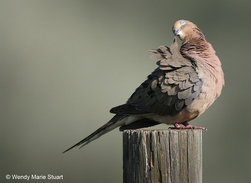 Photo - Contentment - a mourning dove preens.