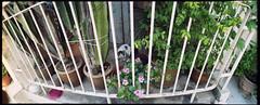 130721 - Balcony (y_leong23) Tags: cat meow 貓