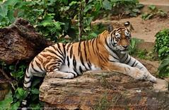Siberische tijger - Panthera tigris altaica -  Siberian Tiger (MrTDiddy) Tags: panorama cat mammal zoo big kat tiger bigcat antwerp siberian tijger tigris antwerpen tigress zooantwerpen amur grote mour panthera altaica zoogdier yessie amoer grotekat siberische tijgerin